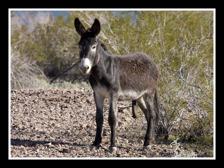 wild-burro-01-web.jpg