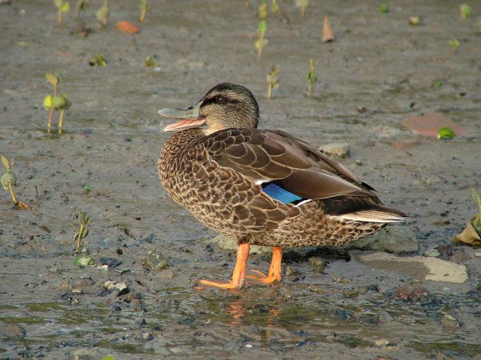 2011-01-29-duck-2-te-atatu-peninsula.jpg