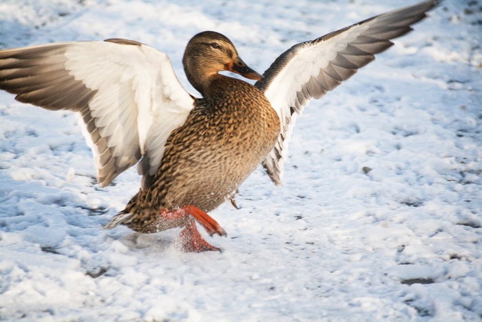 Suggestions for shooting flying ducks?