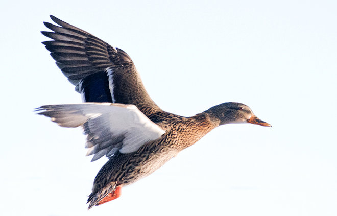 Duck on the  wing