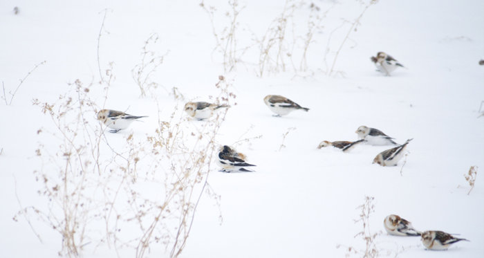 Snow Buntings and vingnetting/