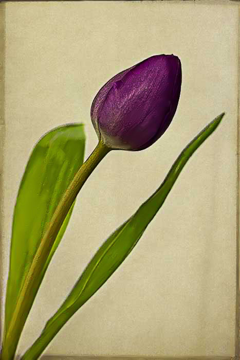 Tulips are here --