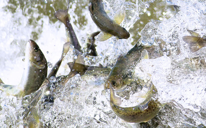 Stocking Salmon