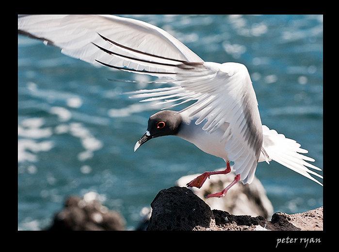Nocturnal Gull - Galapagos Island