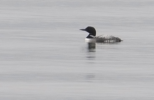 Loon on the lake
