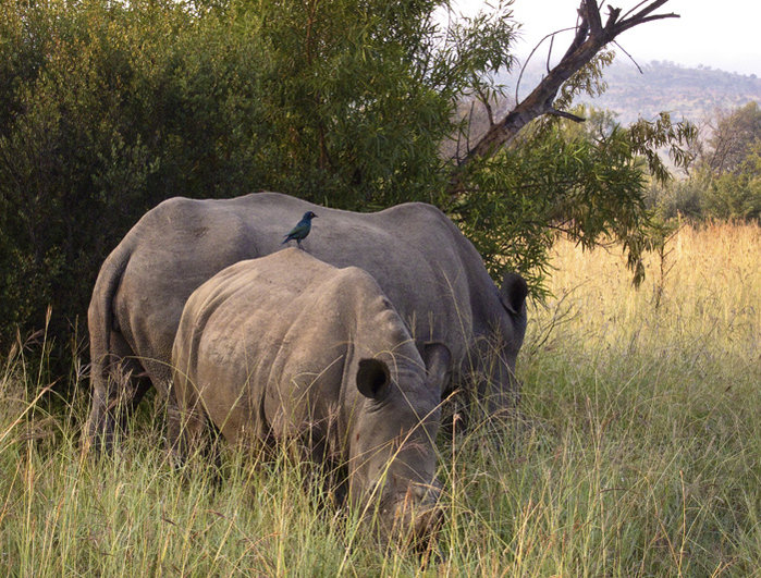 rhinos_700.jpg