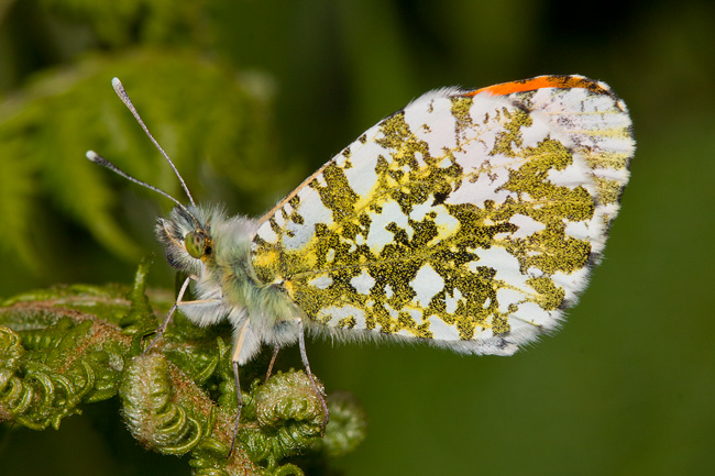Orange Tip Butterfly - After 3 years of trying!