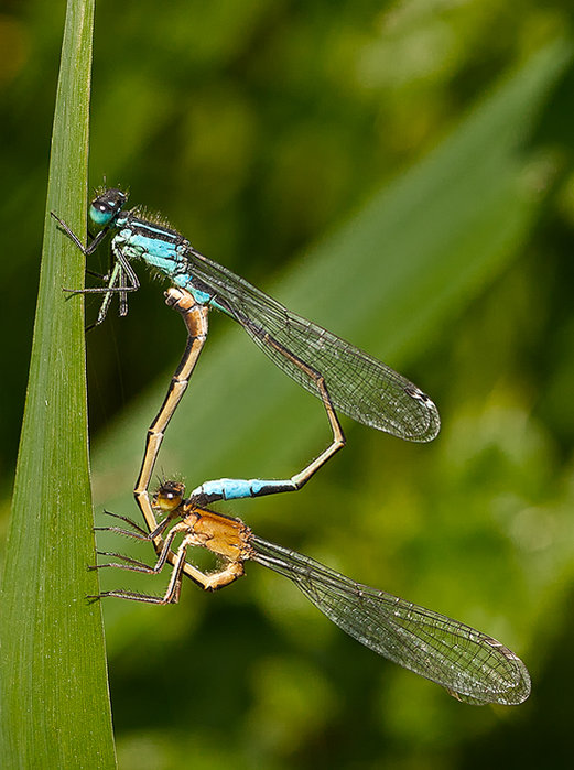 Damselfly Threesome