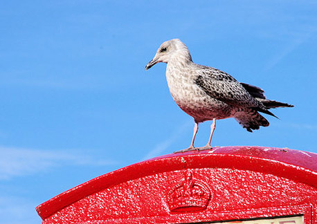 Whitby Seagull