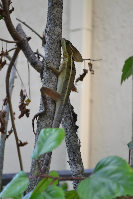 Jesus Lizard (Crop advice)
