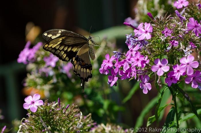 giantswallowtail-3-copy.jpg