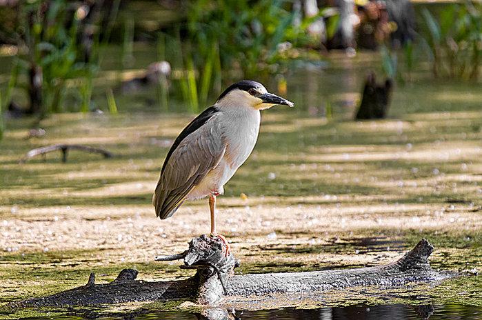 black-crowned-night-heron-cic.jpg