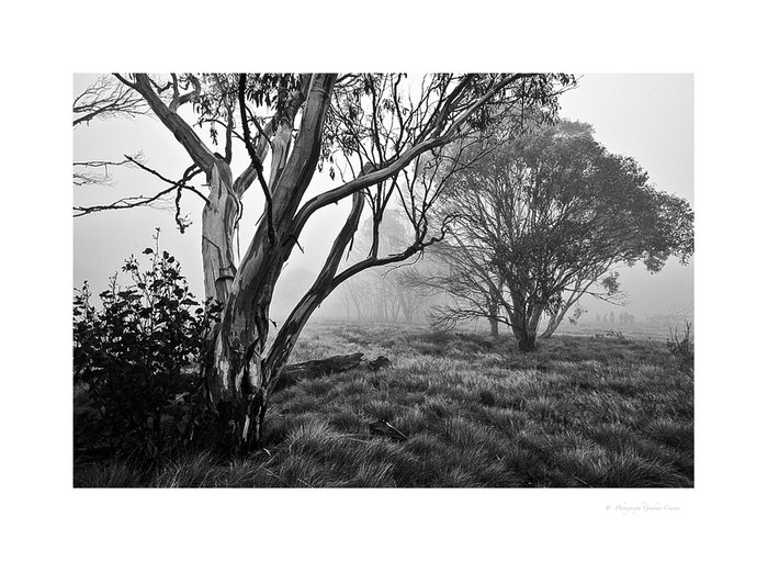 Snow Gum in the Mist -  Monochrome