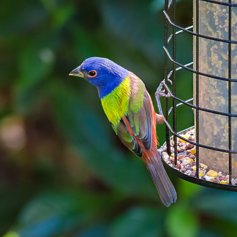 Painted Buntings for Jeeperman
