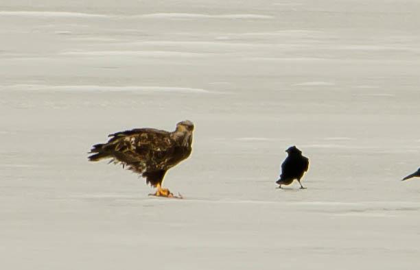 Immature Eagle, Crow, and Catfish