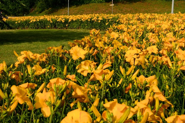 Day lily highway