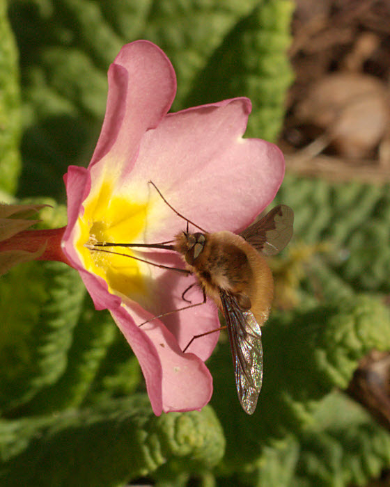 Bee Fly - another portent of warmer weather