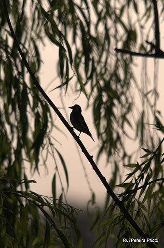 goldfinch-silhuete.jpg