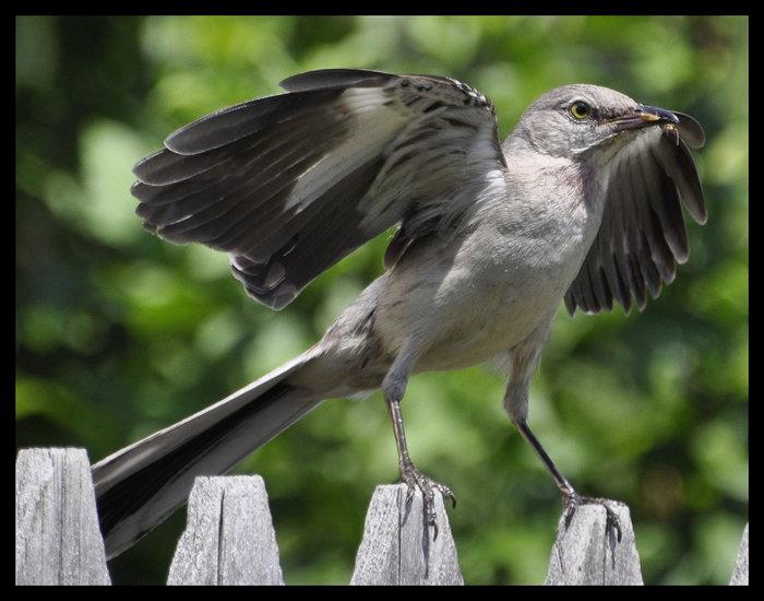 copy-mockingbird1.jpg