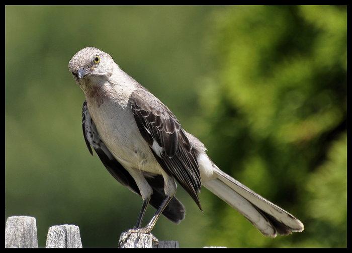 copy-mockingbird2.jpg