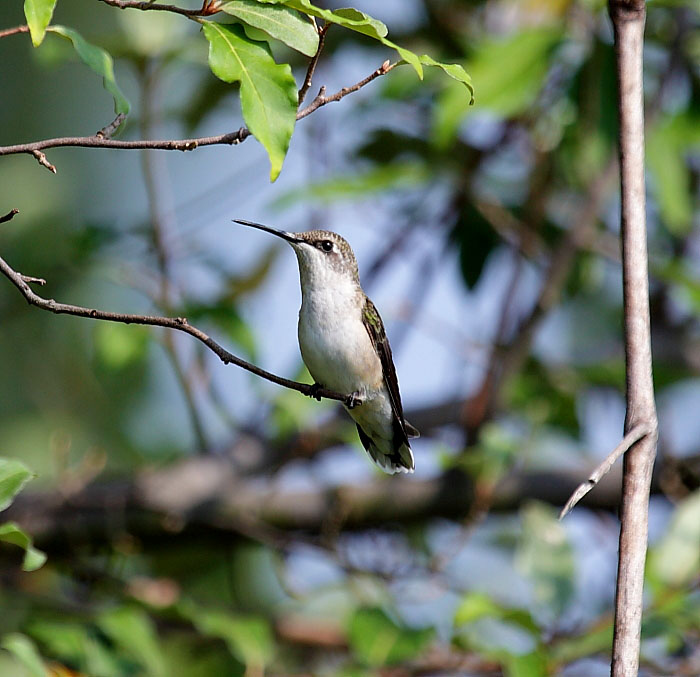 Female Ruby-Throat