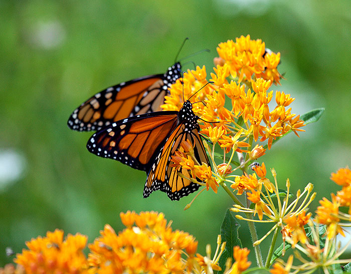 Monarch Mother Lode