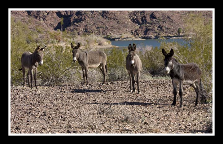wild-burro-03-web.jpg