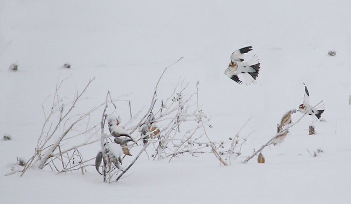 Milkweed with snow bunting