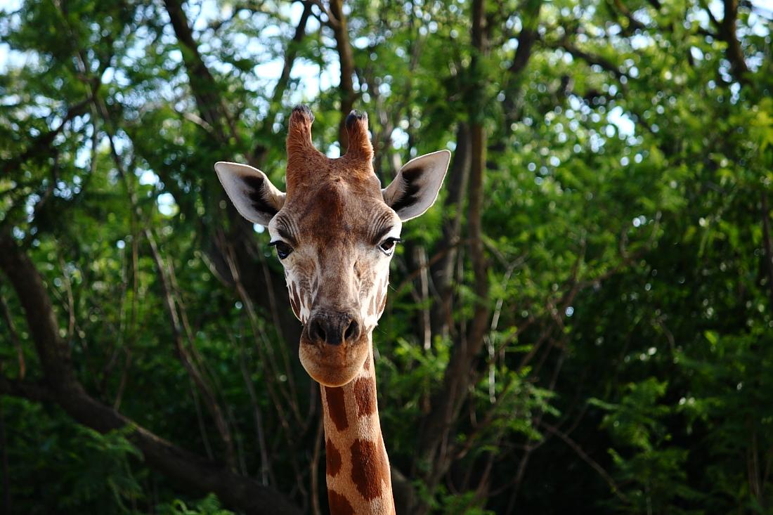 giraffe_small.jpg