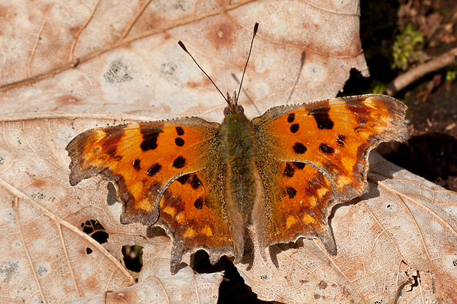 You can't see me - Comma Butterfly