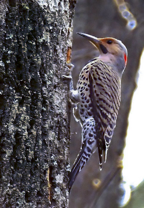 Northern Flicker   c&c welcome