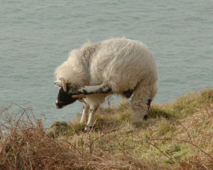 How do ewe scratch an itchy ear?