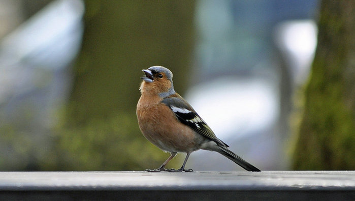 chaffinch-web-version.jpg