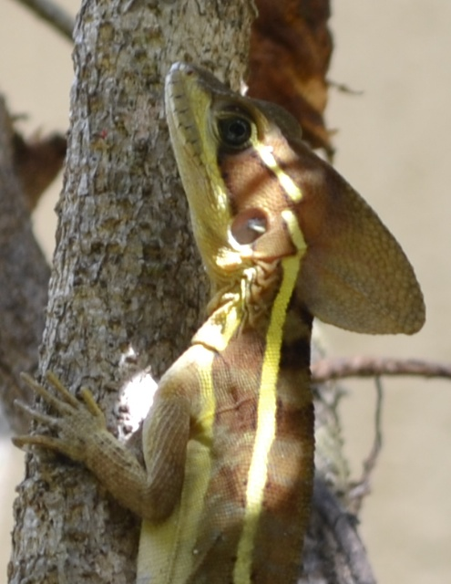 Jesus Lizard (Crop advice)