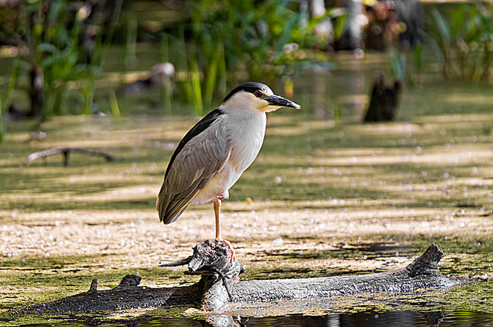 black-crowned-night-heron-cic.jpg
