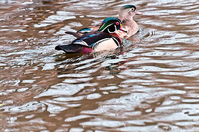 wood-duck-cic.jpg