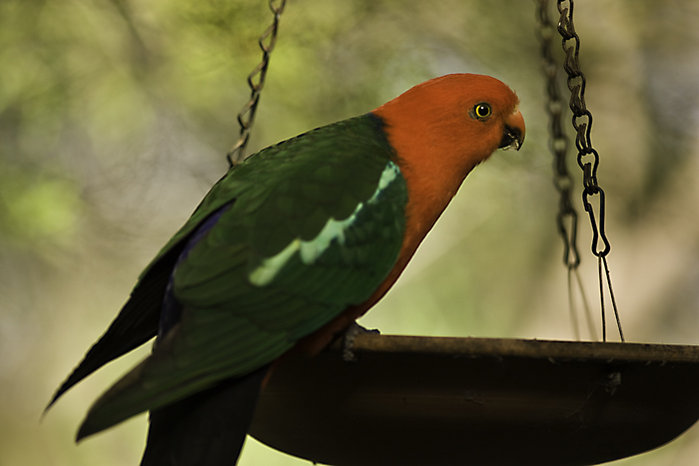 From the Garden 2 King Parrots