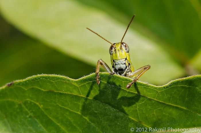 clowning-grasshoppers-1.jpg