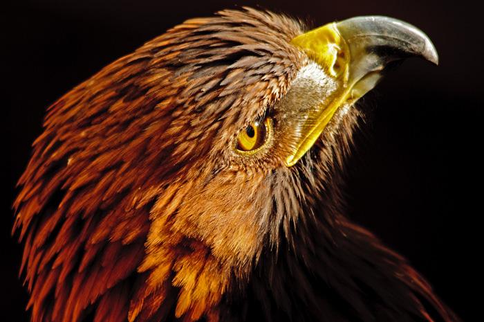 golden-eagle-web1.jpg