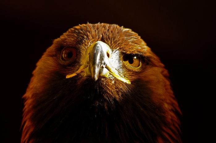 golden-eagle-web2.jpg