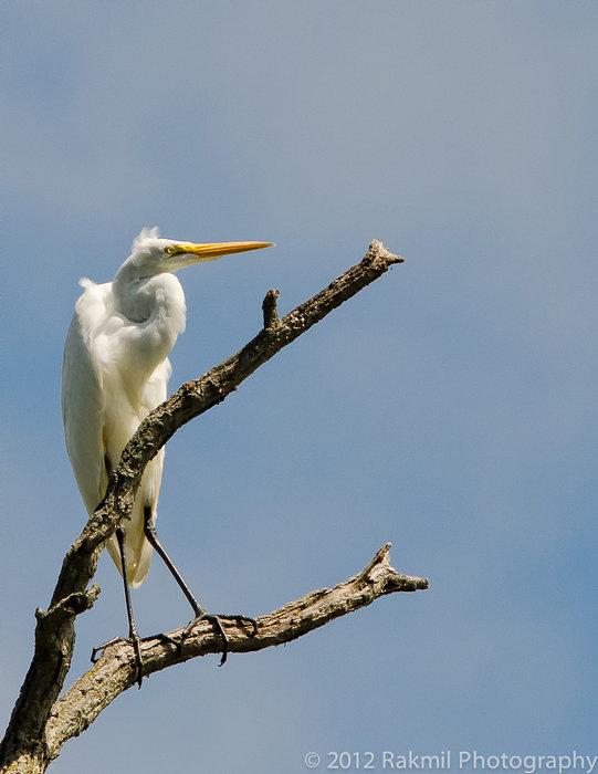 egret-5.jpg
