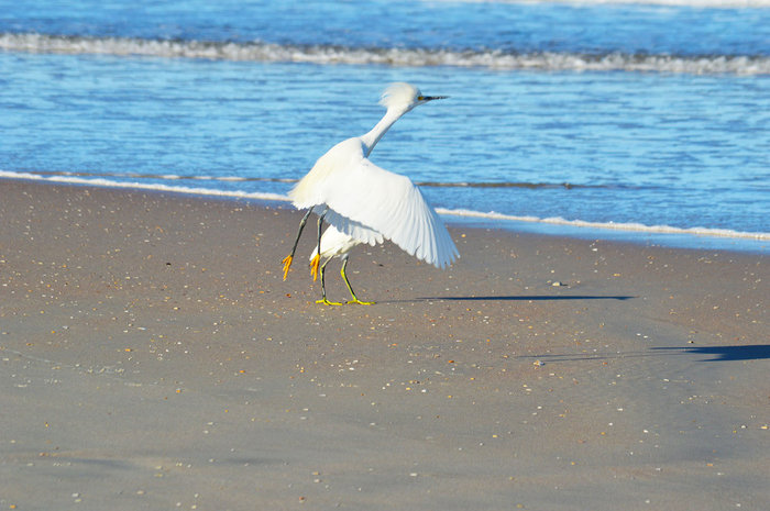 Snowy Egret ( I think?)