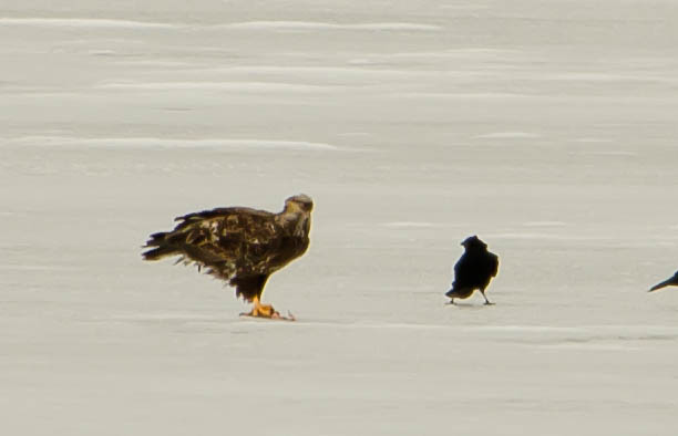 Immature Eagle, Crow, and Catfish