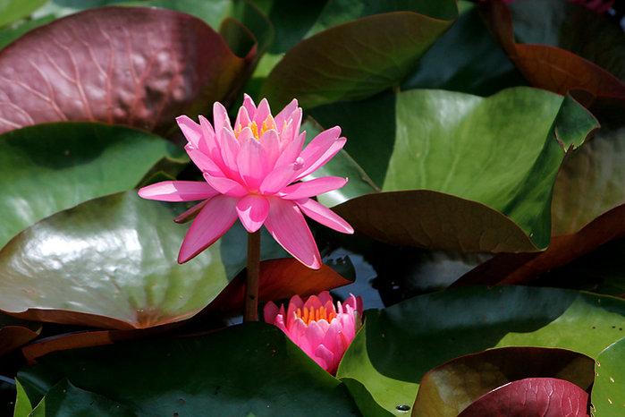 lilyleaves_w700.jpg