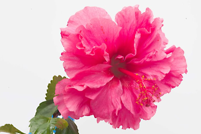 hibiscus-via-benvie.jpg