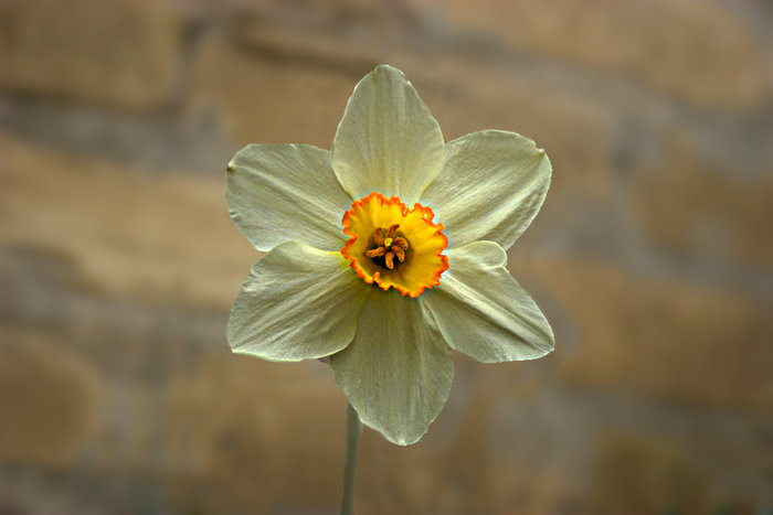 daffodil-copy.jpg