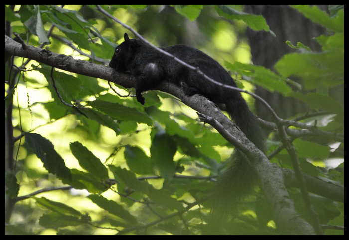 blacksquirrel.jpg