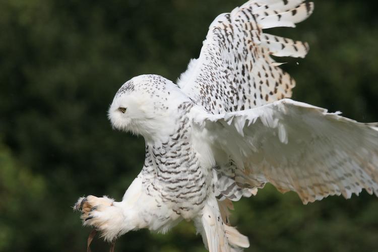 snowy-owl-003-20-52-35.jpg