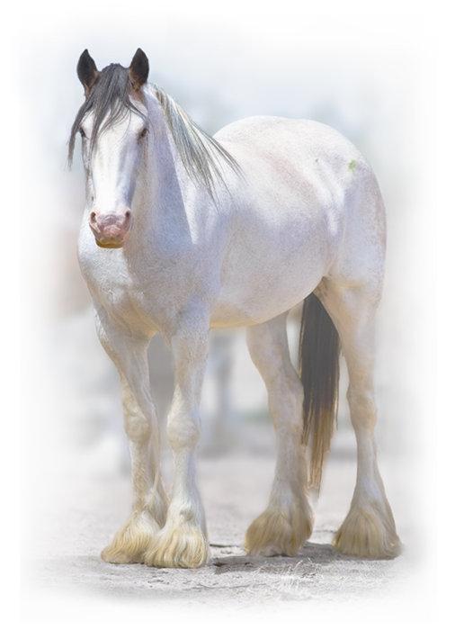 shire-horse-2.jpg