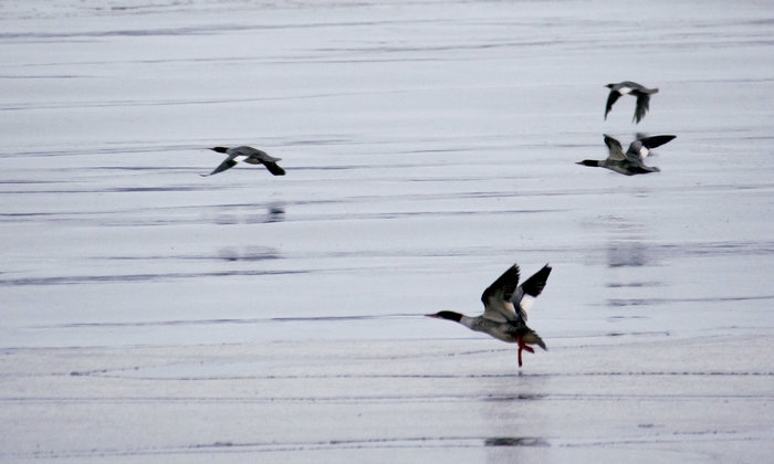 Waterfowl Catured in Motion